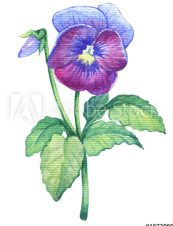 Pansy Love In Idleness Violet